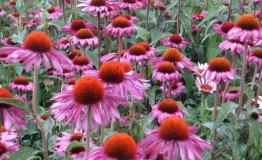 Echinacea - alternatíva k antibiotikám